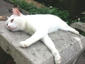 耳カットのある白猫
